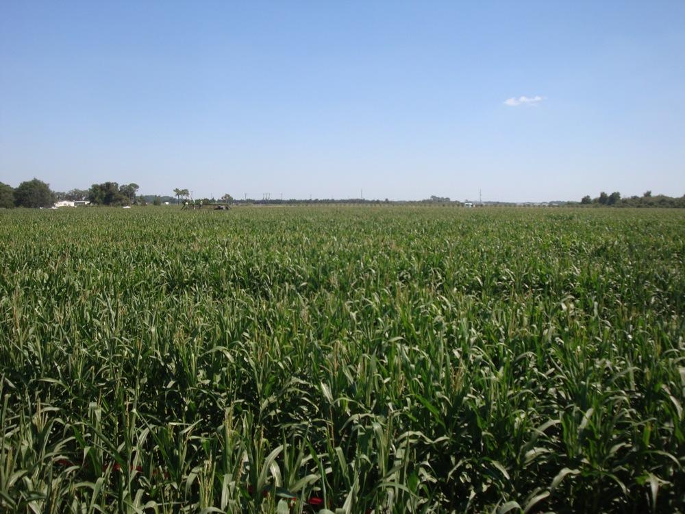 Corn Maze7