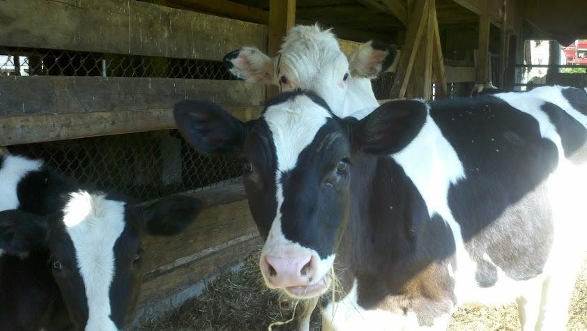 Pennsylvania cows