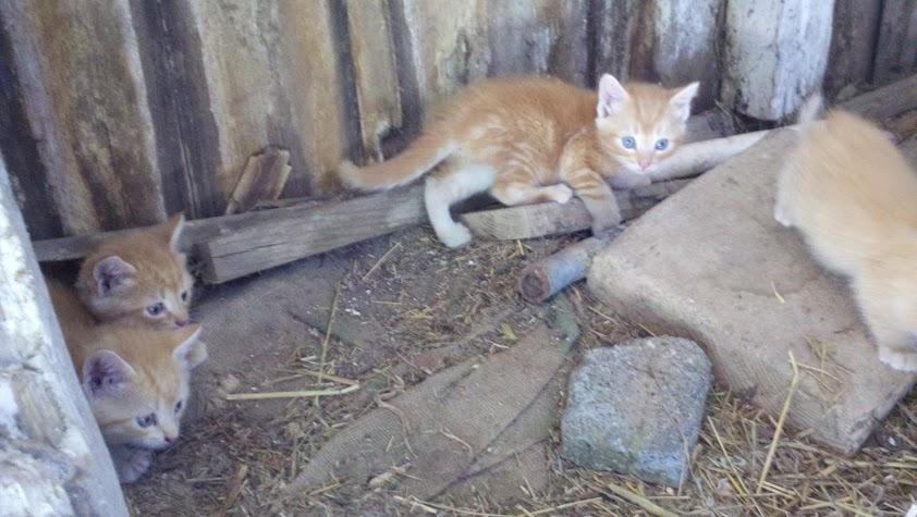Barn kittens