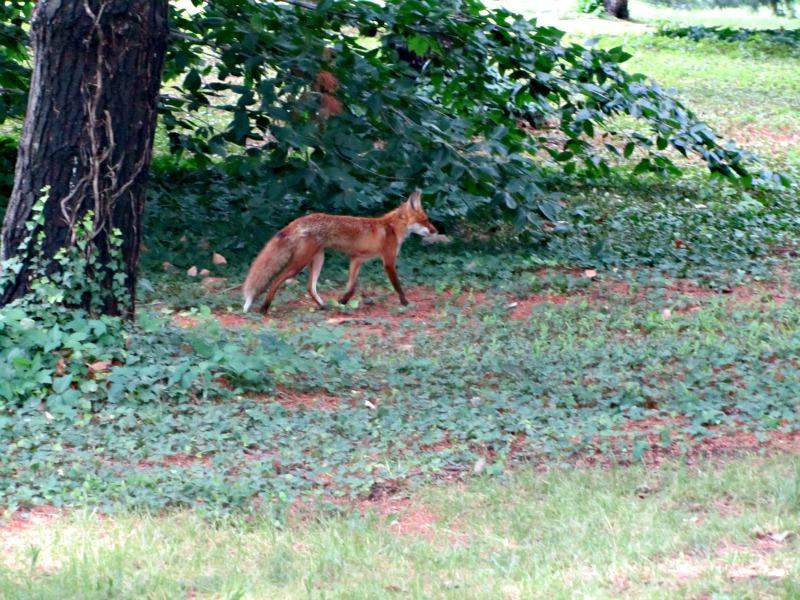 Fox on the Mall