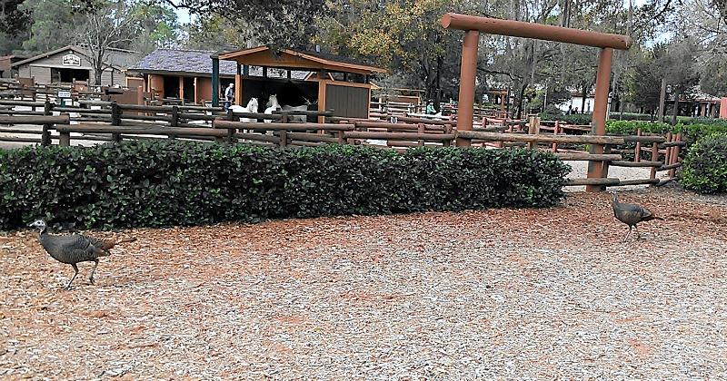 Fort Wilderness turkeys